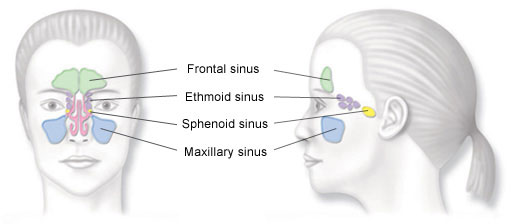 Locations of the sinuses